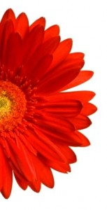 half-red-gerbera-on-pure-white