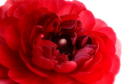 red-ranunculus1